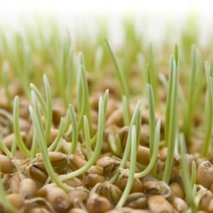 Польза проростков пшеницы