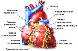 Сердечно-сосудистая система у детей до рождения