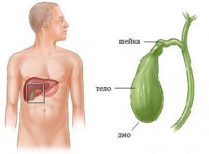 Роль желчного пузыря в процессе пищеварения