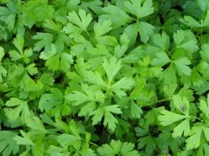 Особенная ценность этого растения в его способности не терять ни вкуса, ни запаха