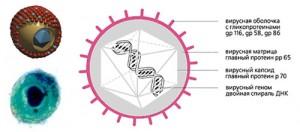 Что такое цитомегаловирусная инфекция