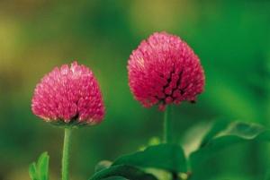 Клевер - это многолетнее растение  из семейства бобовых