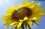 Удивительные польза и вред подсолнечных семечек