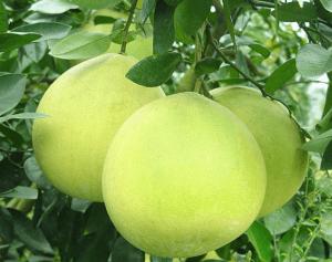 Плоды памелы на дереве