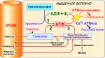 Ресинтез АТВ – основные принципы биохимического спорта
