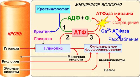 Схема ресинтеза АТФ