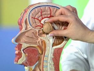 Гипофиз - железа, расположенная у основания мозга