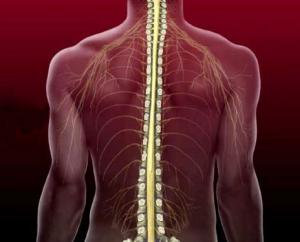 Расположение спинного мозга