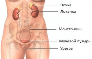 Строение мочевыводящих путей у женщины
