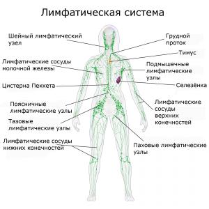 Лимфоузлы человека