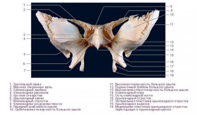 Основание черепа - клиновидная кость