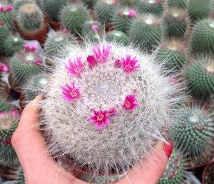Полезные свойства съедобного кактуса Маммилярии