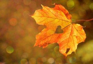 Лечение настоями из кленовых листьев
