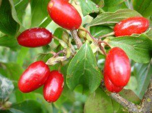 Уникальный состав ягод кизил
