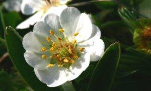 Внешнего вида растения лапчатки белой