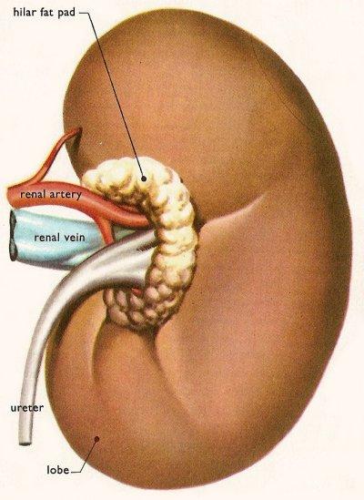 Описание, разновидности и симптомы гломерулонефрита