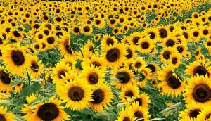 Семена подсолнуха используют в косметологии