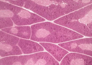 Гистология вилочковой железы