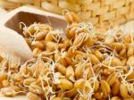 Проросшая пшеница: как приготовить, чтобы извлечь максимальную пользу