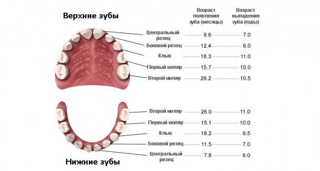 Схема выпадения молочных зубов