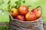 Химический состав яблок: влияние на окраску плода